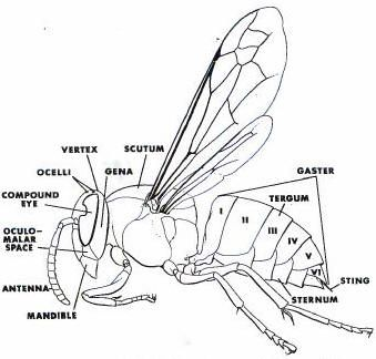 diagram of a wasp  showing the body parts