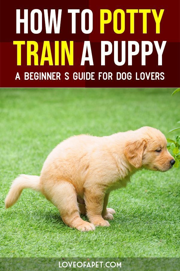 How To Potty Train A Puppy – A Beginner's Guide For Dog Lovers. #puppytraining  #Puppy #DogLovers #LoveOfApet