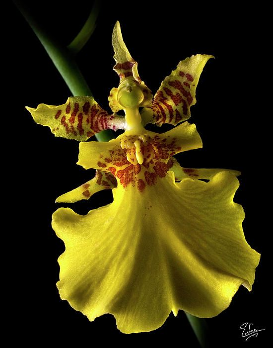 Yellow Oncidium By Endre Balogh Orchid Photography Oncidium Oncidium Orchids