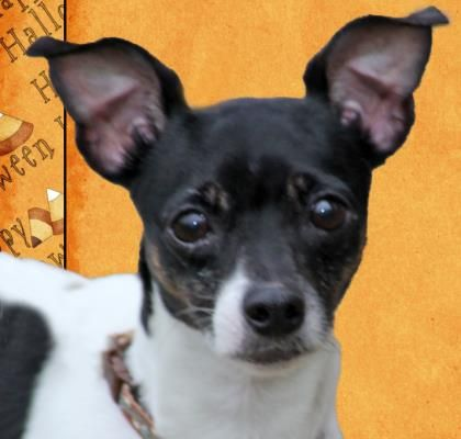 Dog Finder Adopt A Dog Or Cat Near You Dogs Rat Terriers