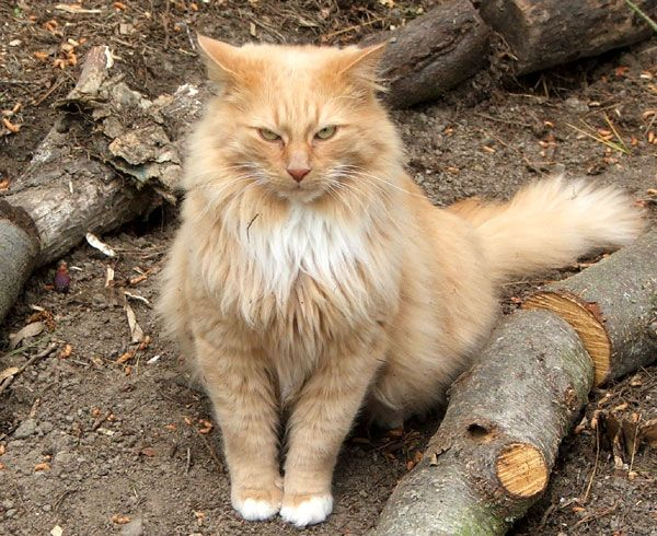 Orange And Cream Domestic Long Hair Cat Chris Giacometti Cats Dog Cat Pictures Cuddly Animals