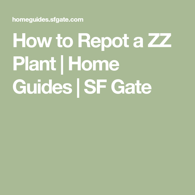 How To Repot A Zz Plant Green Thumb 3 Zz Plant Plants