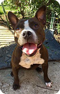 Santa Ana Ca French Bulldog Boston Terrier Mix Meet Treble