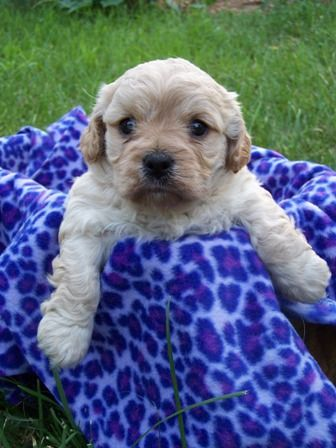 Pin On Poodle Mixes