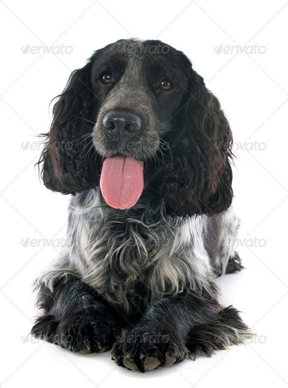 Wonderful Spaniel Canine Adorable Dog - 95fbe89814c22e3c3ff5b483198d56ae  Best Photo Reference_197786  .jpg