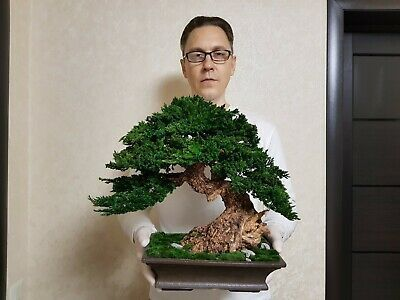 Bonsai tree artificial preserved natural juniper stabilized tree 1732
