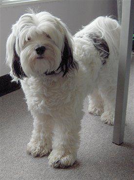 Tibetan Terrier Pixs 3 Tibetan Terrier Terrier Dog Breeds Dog Breeds