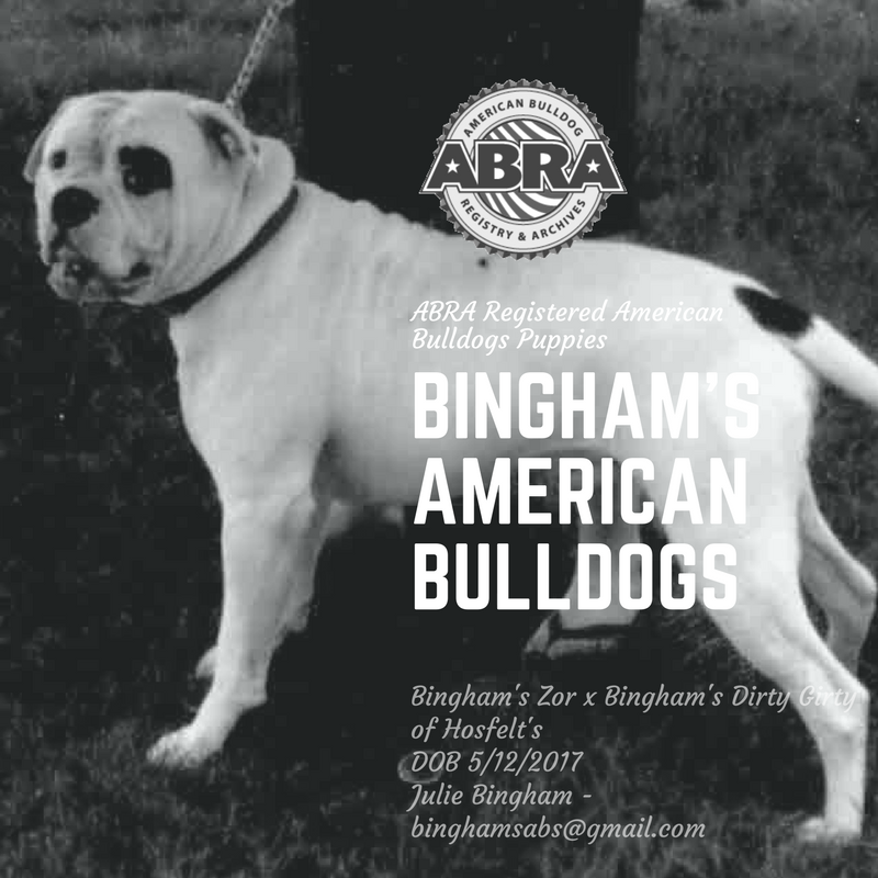 Pin On American Bulldog Puppies