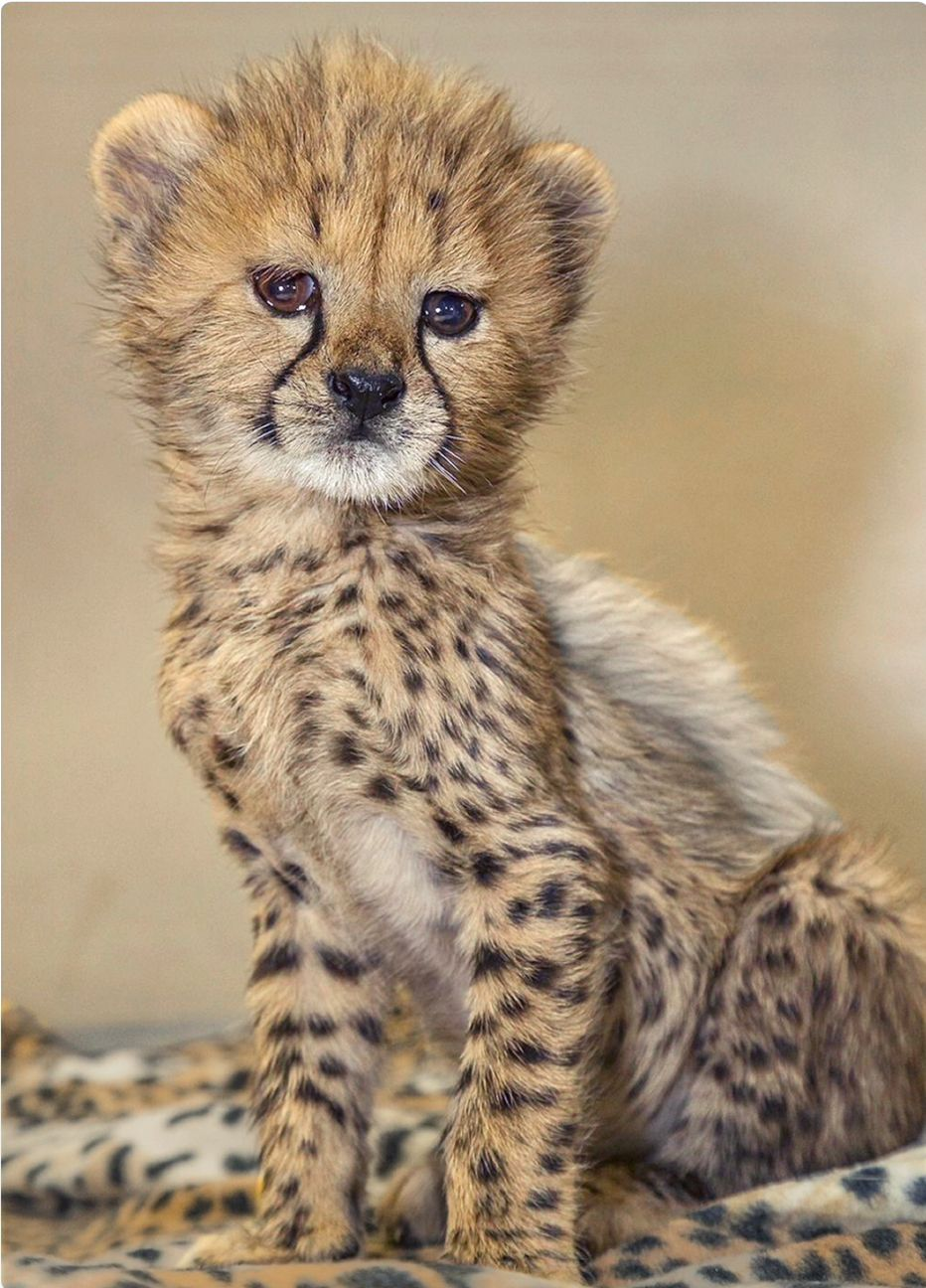 Adorable baby cheetah. Animals wild, Cute animal pictures