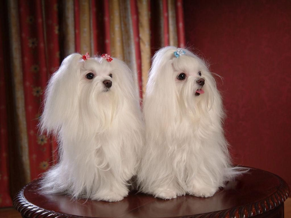 Image detail for -Maltese Dogs wallpaper - Dogs Wallpaper (13937365) - Fanpop fanclubs