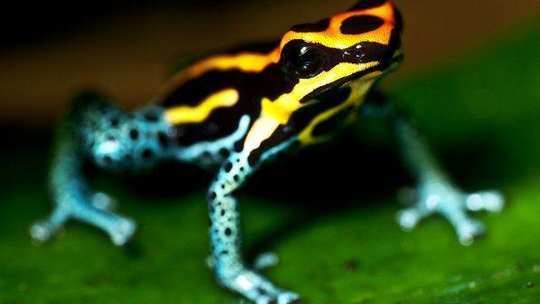 Ra Amarela Preta E Azul Poison Dart Frogs Dart Frog Frog Facts