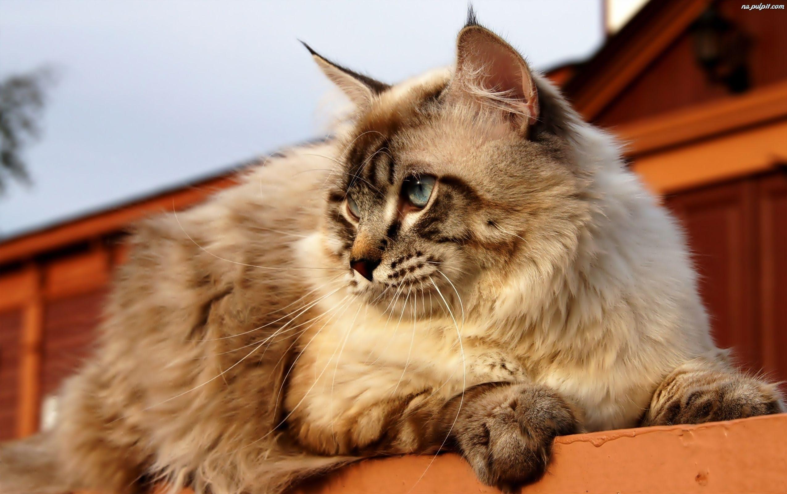 Kot, Oczy