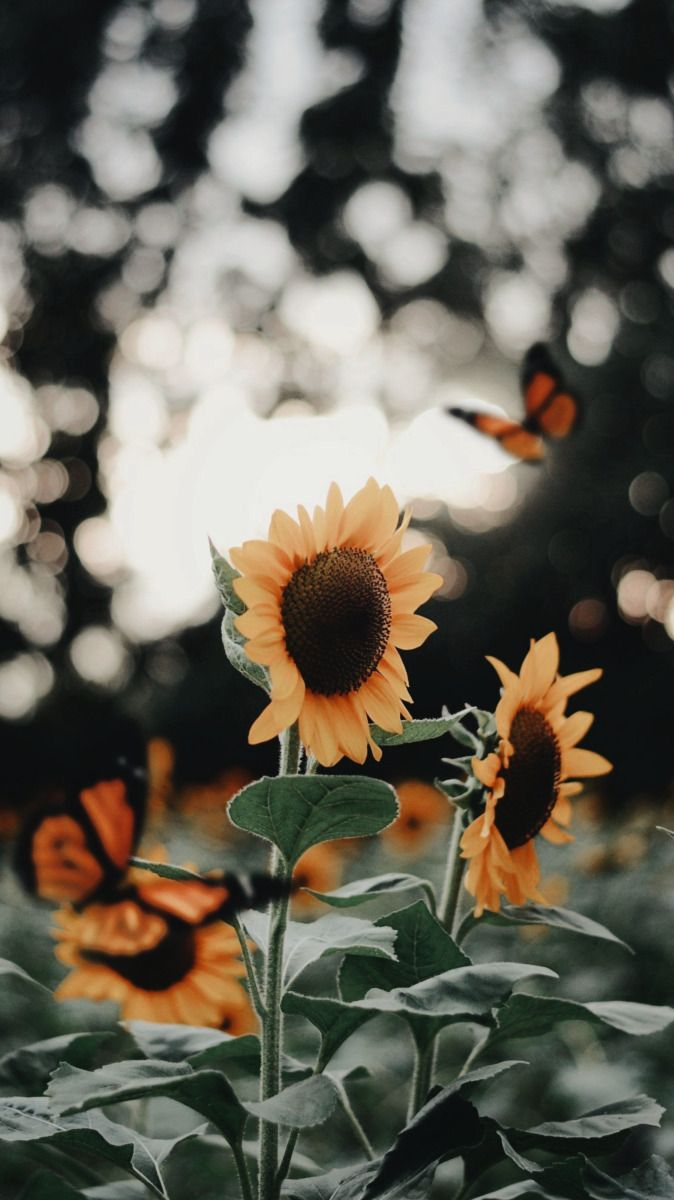 moved to @goldscreensx — sunflower lockscreens