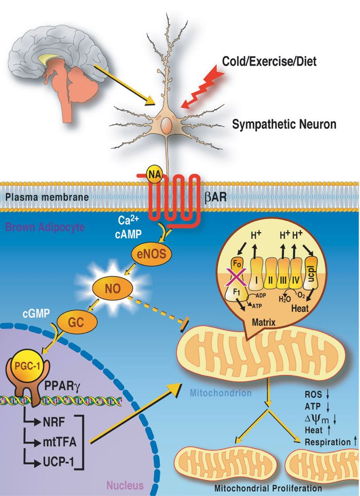 How nitric oxide affects cell mitochondria: a small amount causes ...