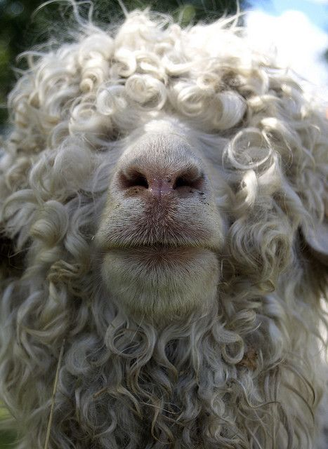 Texas angora sheep: look at that curls!