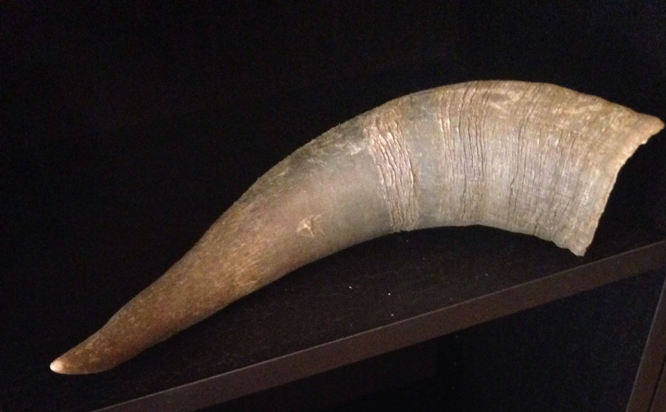 Buffalo horn. Found in Easter Island august 2010