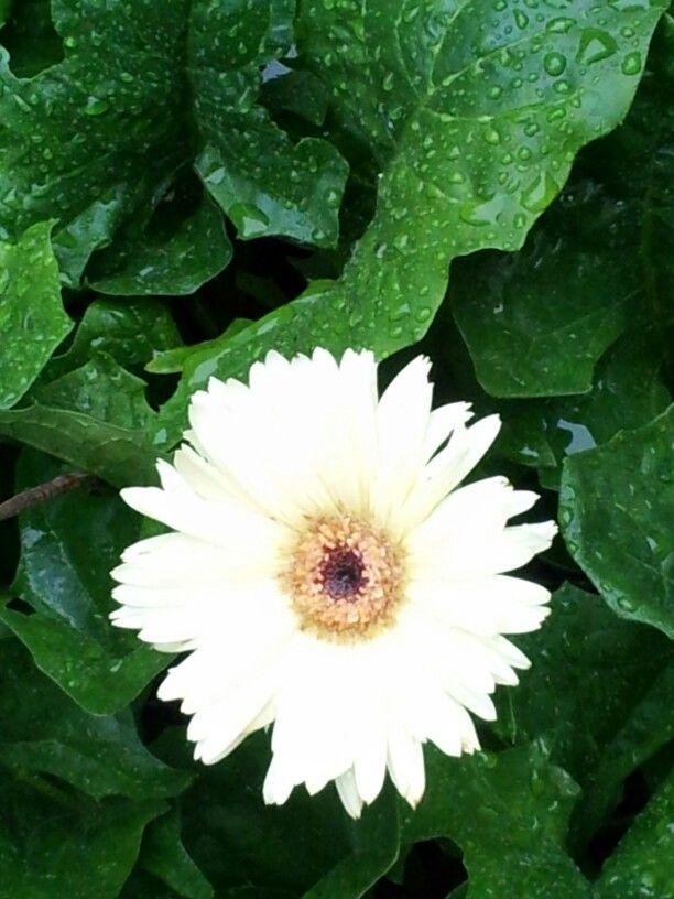 Gerbera Daisy With Images Gerbera Daisy Gerbera Plants