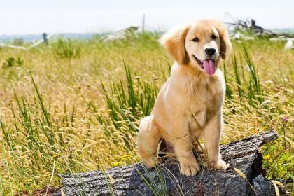 Golden Retriever Puppy 128817 High Quality And Resolution
