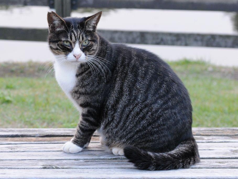 The Basics Of Feline Color Genetics Color Genetics Tabby Cat