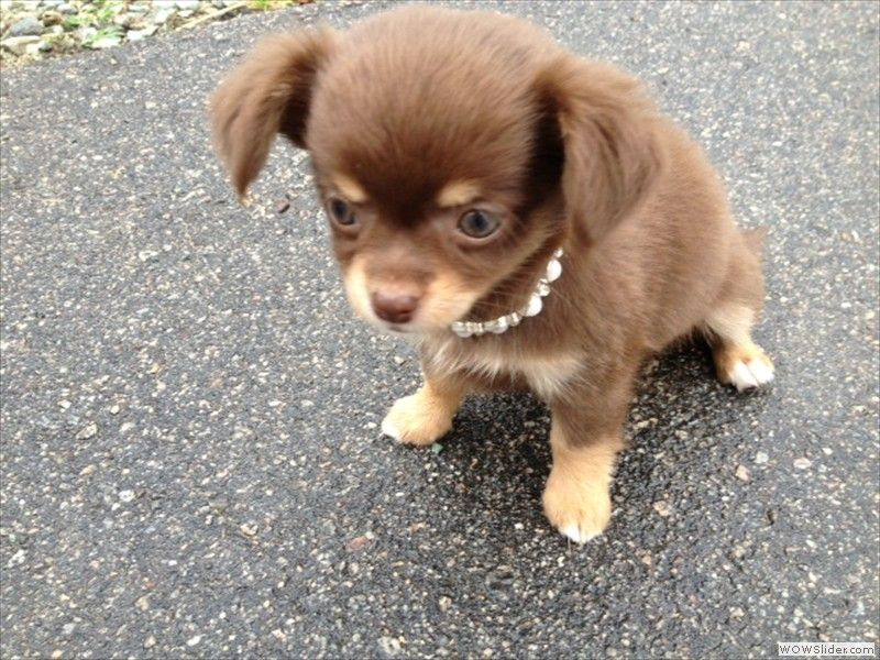 chocolate chihuahua puppy chocolate long haired chihuahua sweet female 2873