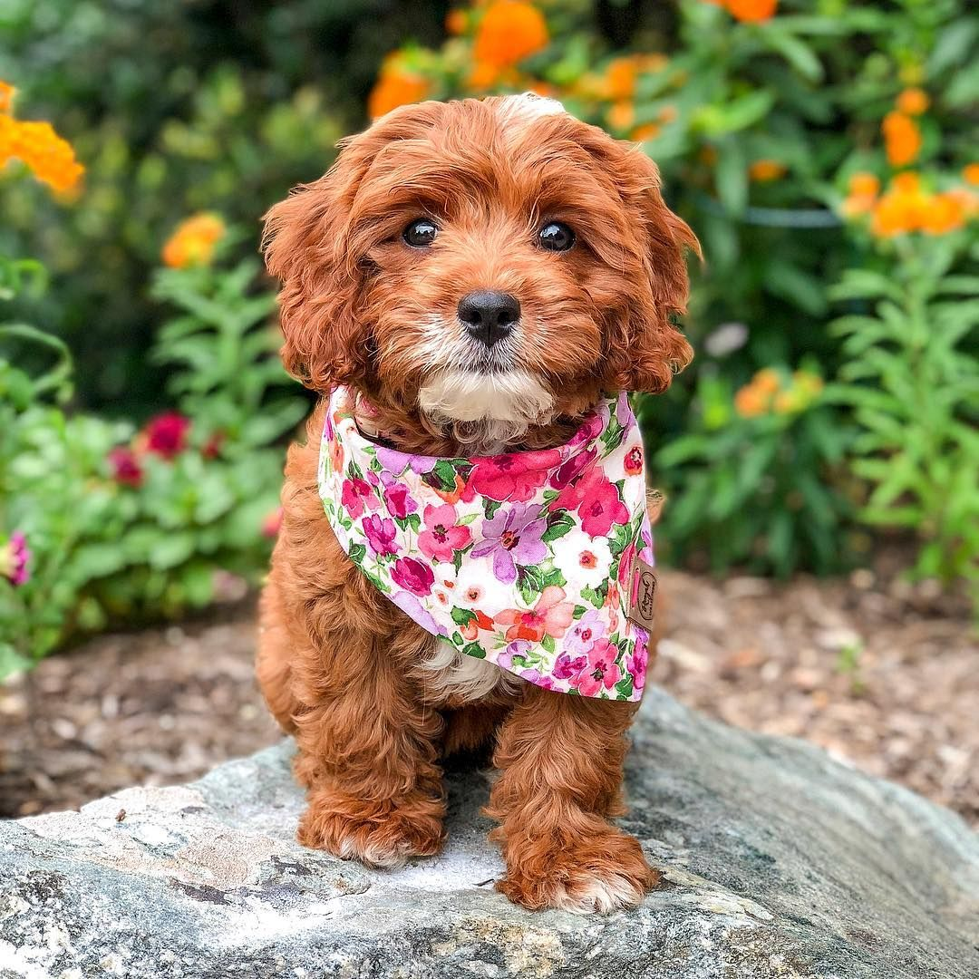 Everything You Need To Know About A Cavapoo Cavapoo Cavapoopuppies Cutepuppies Dogs Dogbeast King Charles Spaniel King Charles Cavalier Spaniel Puppy