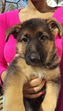Litter Of 2 German Shepherd Dog Puppies For Sale In Hartwell Ga