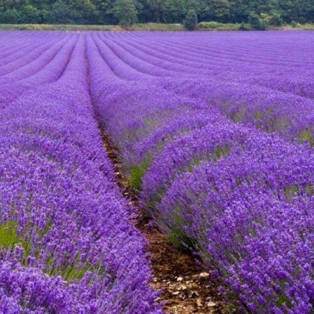 Lavender Field Outside Of Fredericksburg Texas Day Trips