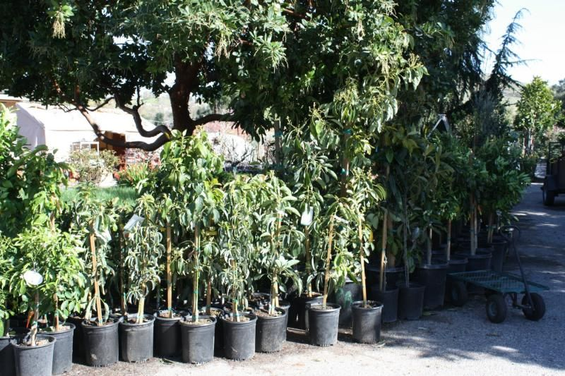 Tropical Trees Many Varieties Of Avocado
