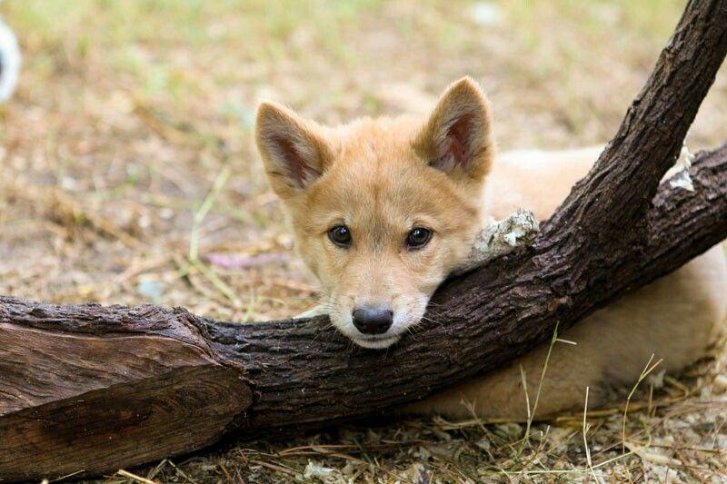 Pin by Mariah Chaput on Wild Dogs Australia animals, Dog