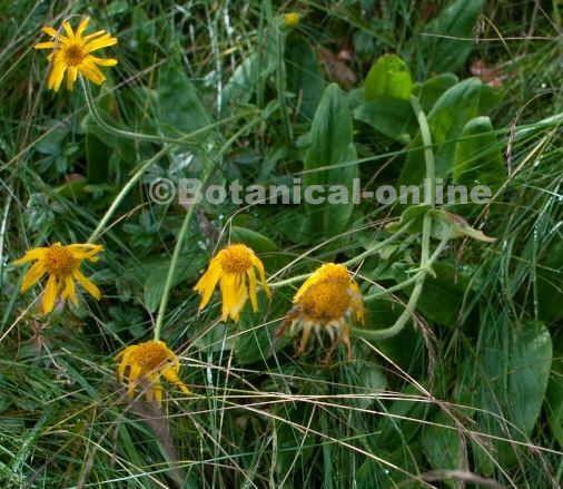 Arnica montana flores planta con hojas hierbas y sus for Planta decorativa con propiedades medicinales