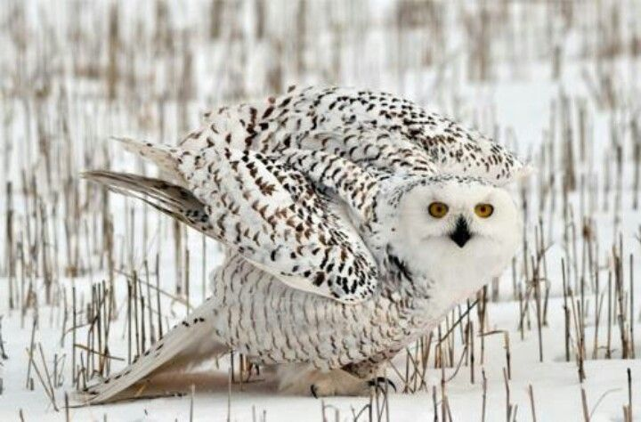 Another marvelous Snowy Owl photo. Hope to see one someday