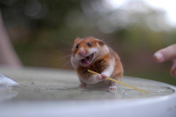 Ninja Hamster - reloaded by ~Ganayan on deviantART