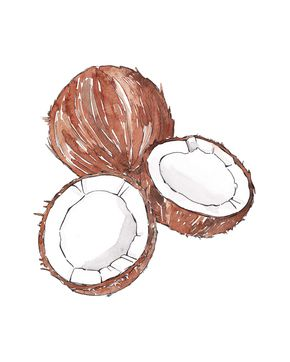 COCONUT watercolor illustration by Good Objects