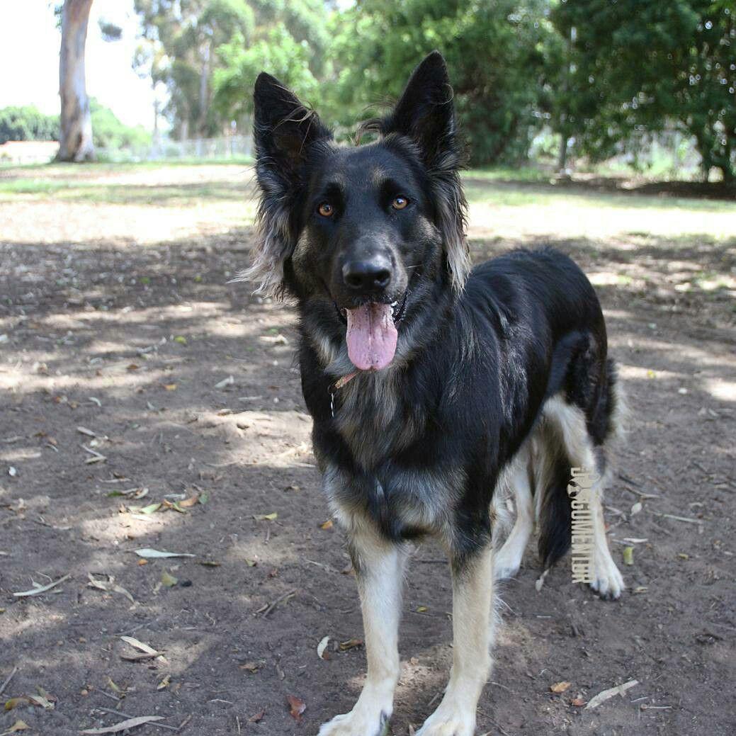 Leyna, Long Haired German Shepherd (2.5 y/o), Grape St