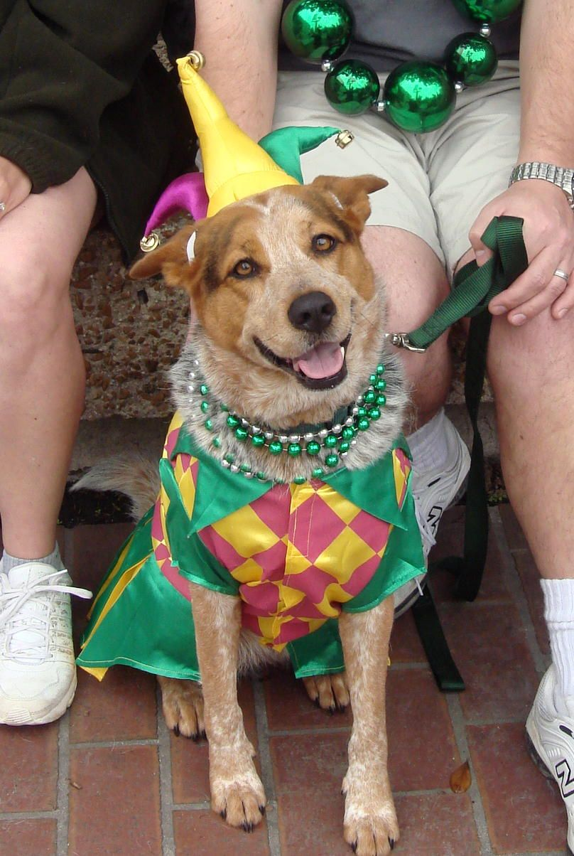 Mardi Gras Dog Costume Katie Says We Need This To Put On Davey But Seeing & Mardi Gras Dog Costume Ideas u0026 I.imgur.com