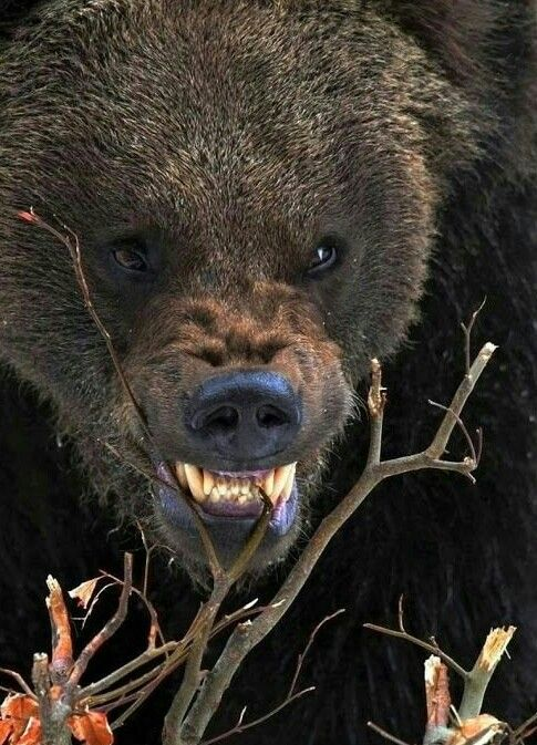 Angry Grizzly Bear!   Animals and pets   Animals, Bear ...