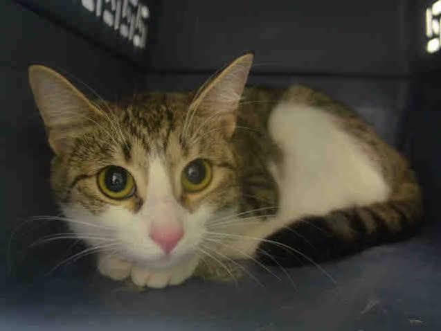 FESTINE- A1050349 - - Brooklyn   **TO BE DESTROYED 09/13/15** EXPERIENCE-rated FESTINE is a frightened young lady who just wants to go home. Who can blame her? She misses following her loved humans around the house, she misses her favorite sunny windowsill, and she simply can't understand why her life has taken such a drastic turn. Her former owner decided life was too complicated to include FESTINE, whereas FESTINE cannot imagine life without her loved former family.