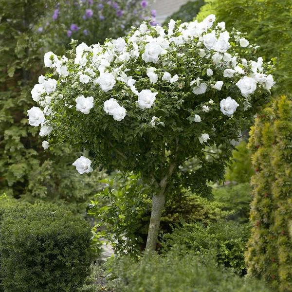 White Rose Of Sharon Althea Tree Rose Trees Rose Of Sharon Tree Drift Roses