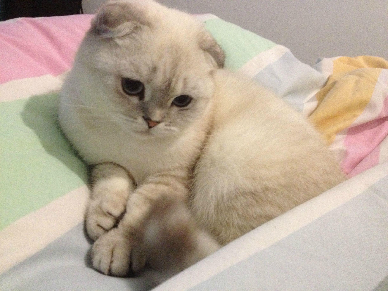 Scottish Fold Kitten Scottish Fold Kittens Cat Scottish Fold