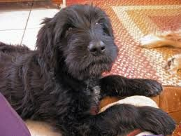Image Result For Wirehaired Pointing Griffon Lab Mix Wire Fox