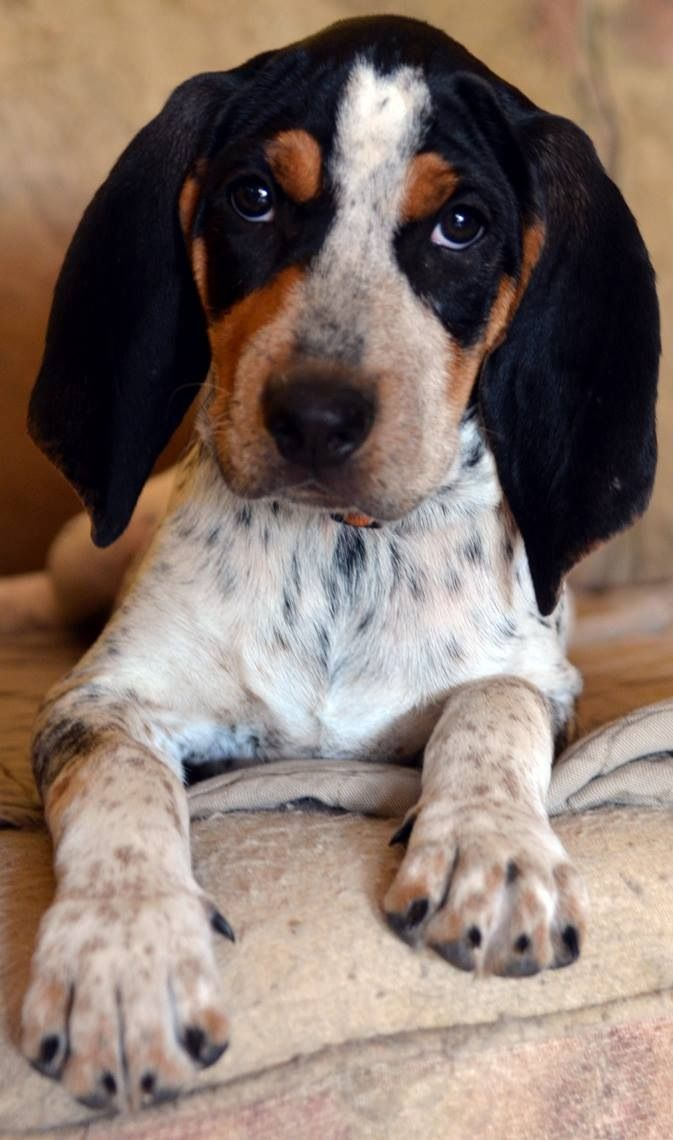 Pup From Kentucky Blueticks Bluetick Coonhound Coonhound Puppy