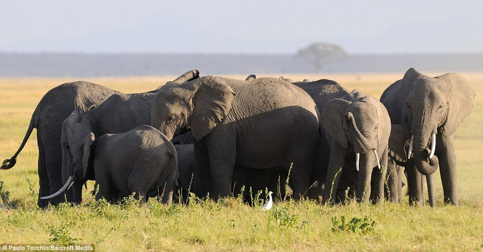 A Herd Of Elephants Huddles Around A Female To Protect Her From