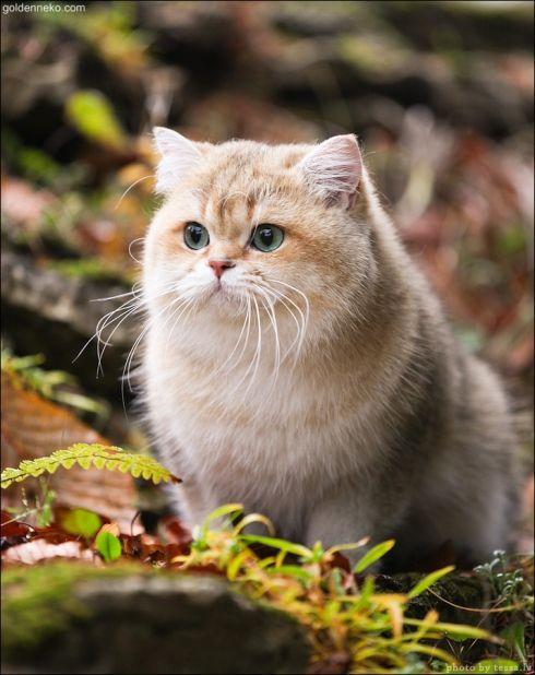 Кот Золотой Коррадо редкие и удивительные фотографии