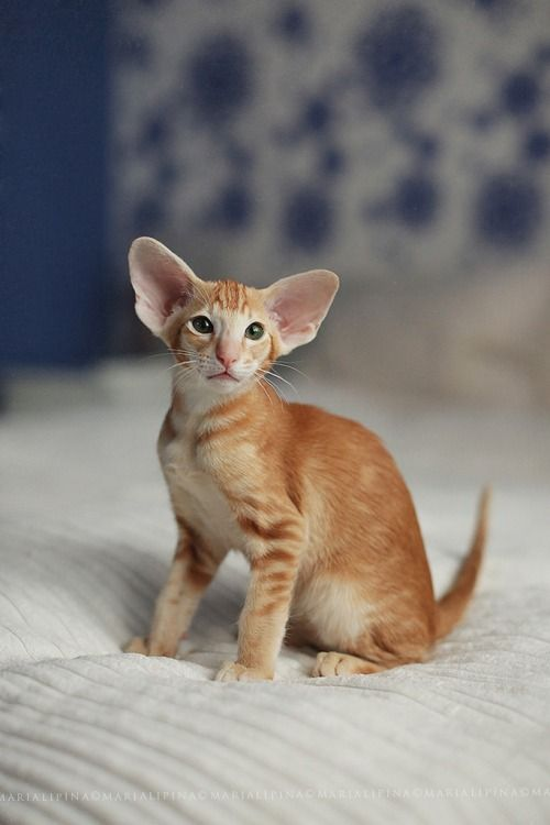 Mostlycatsmostly Oriental Shorthair Cats Pretty Cats Cat Breeds