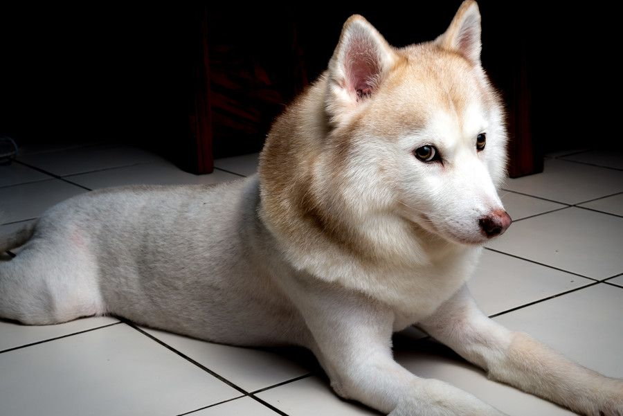 Husky With Lion Hair Cut By Chingwei Chen On 500px Animals Pets