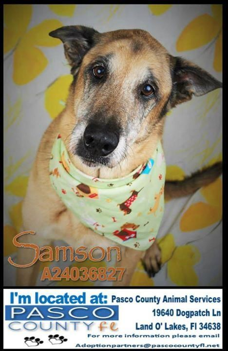Senior Samson D3308 Pet Id D3308 Spayed Neutered Shots Current Primary Color S Brown Or Chocolate Secondary Color S Dog Adoption Animals Pets