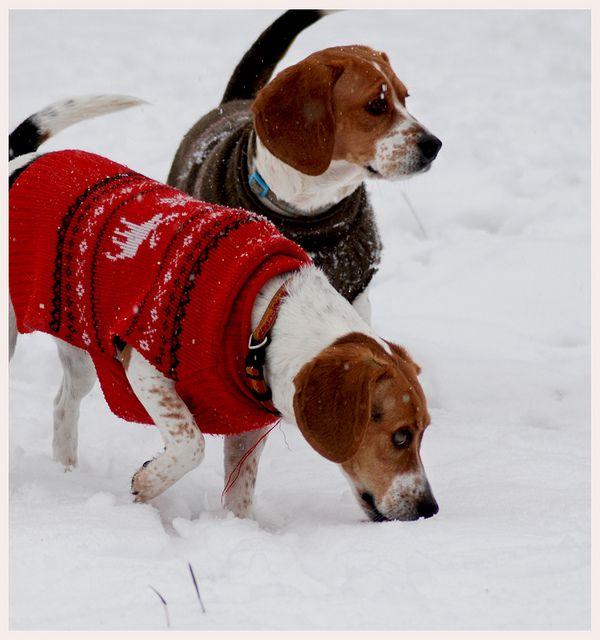 Beagles In Snow Beagle Baby Beagle Cutest Dog Ever