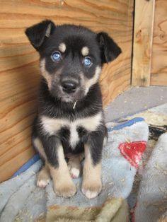 Blue Eyed Wolf Cross Rottweiler Google Search Cute Dogs