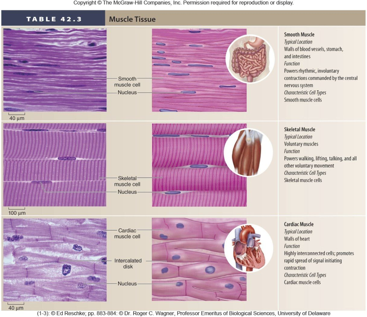 Muscular Tissue Anatomy And Physiology Pinterest