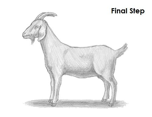 Goat Drawing Final | Homeschool Art in 2019 | Drawings, Goat
